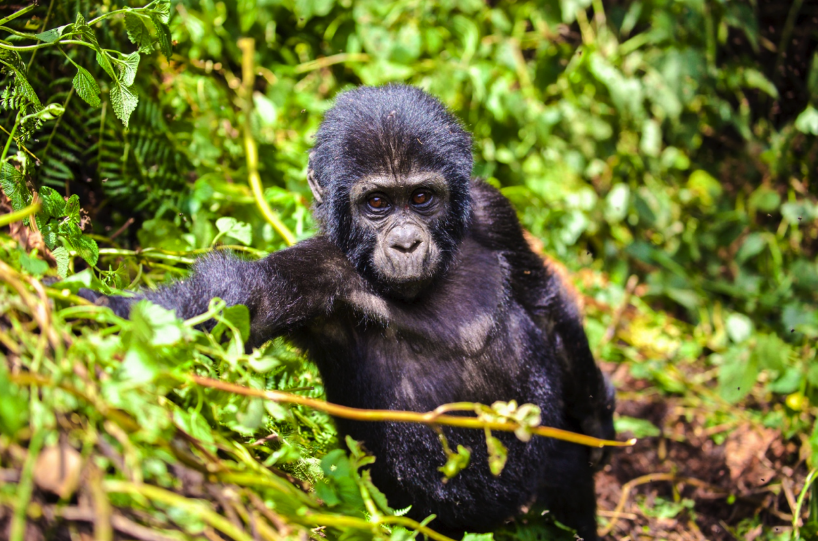 Photograph uganda, gorillas & wildlife
